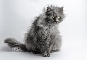 gato gris peludo foto