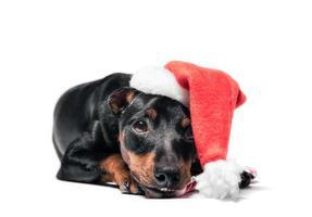 Cachorro pinscher en un gorro de Papá Noel sobre un fondo blanco. foto