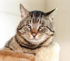 Sleepy tabby cat photo