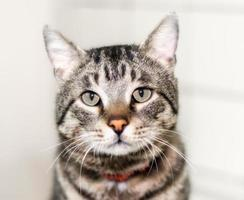 Close-up of a tabby cat photo
