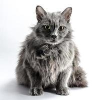 gato gris peludo sobre un fondo blanco foto