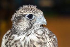 primer plano, de, un, halcón gerifalte, pájaro