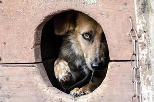 perro asustado en la caseta del perro
