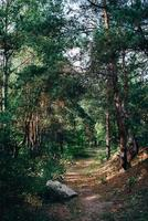 Road in a pine forest photo