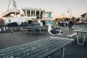 San Francisco, California, 2021 - Seagull on a picnic table with the city in the background