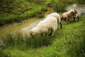 Sheep eat grass near the river