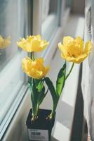 tulipanes amarillos en una maceta foto