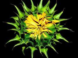 Sunflower on black background photo