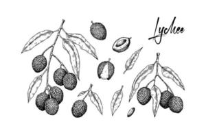 Set of hand drawn lychee fruits, branches and leaves isolated on white background. Vector illustration in detail sketch style