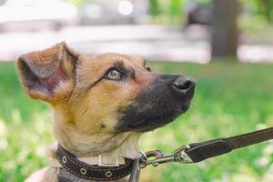 Puppy on a leash in a park photo