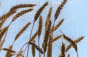 trigo y cielo azul foto