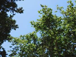 Trees against a clear blue sky