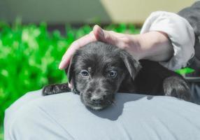cachorro negro en el regazo foto