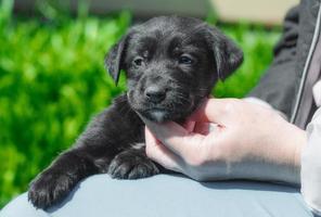 cachorro negro siendo mascota foto
