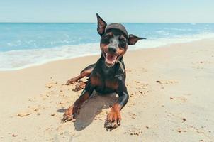 Miniature pinscher puppy on the beach photo
