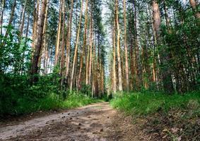 sendero en un bosque de pinos foto