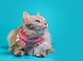 Close-up of a cat laying on a blue background photo
