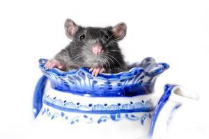 Gray rat in a teapot photo