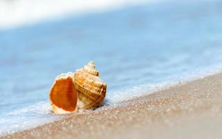 Conch shell in water on a beach photo