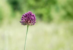 flor silvestre en flor púrpura foto