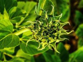 Sunflower field in nature photo