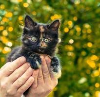 Calico kitten in hands