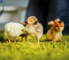 Three small chicks photo