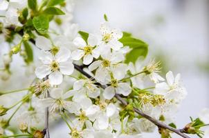 Apple tree flowers photo
