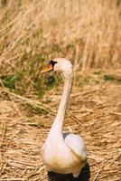 cisne en la hierba foto
