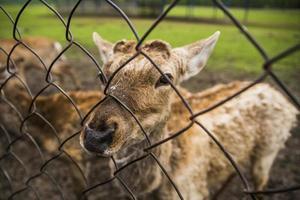 Deer behind a fence photo