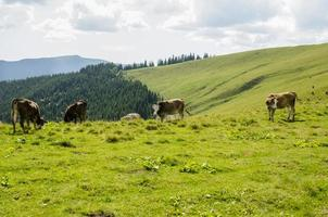 Cows on a mountain