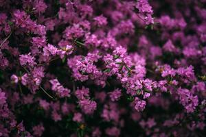 flores violetas lilas foto