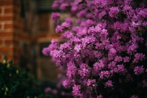Purple lilac flowers photo