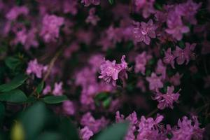 Close-up of lilac flowers photo