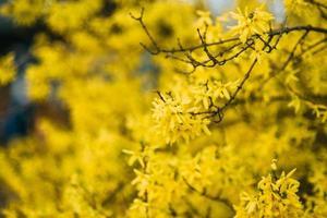 Yellow tree blooming photo
