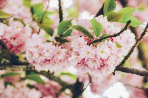 Pink blossoms on a tree photo