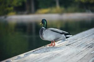 Duck on wood photo