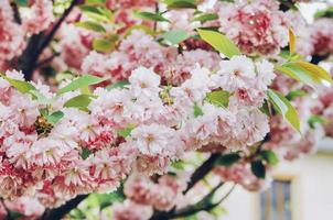 Pink blossoms on a tree outside photo