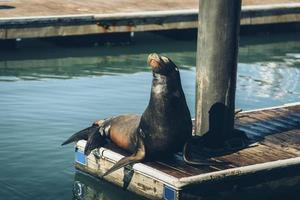 Sealion on dock photo