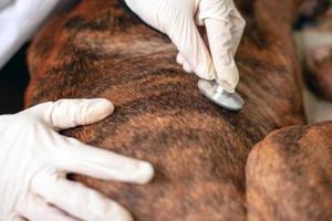 Médico veterinario escucha a un perro enfermo con un estetoscopio de cerca foto
