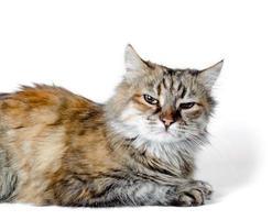 gato enojado sobre fondo blanco foto