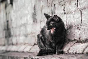 gato negro silbando foto