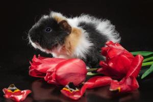Guinea pig and tulips photo