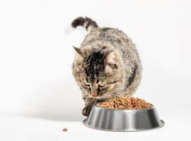 gato por plato de comida foto