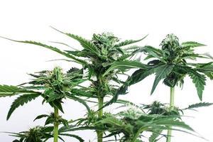 Arbusto verde de una planta de cannabis en flor sobre un fondo blanco. foto