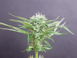 capullo de cannabis verde floreciente sobre fondo gris foto