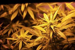 Growing medical marijuana indoors under artificial light lamp photo