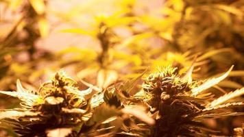 Plantación casera de marihuana con plantas de cannabis en flor bajo luz artificial en interiores foto