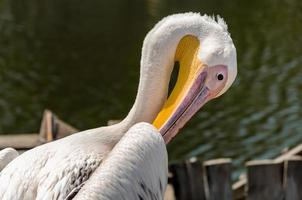 Pelican cleaning itself photo