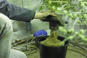 Hydroponic cannabis cultivation photo
